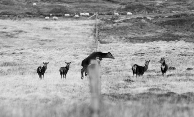 Outer Hebrides Hebridean holidays See & Do wildlife birdlife deer